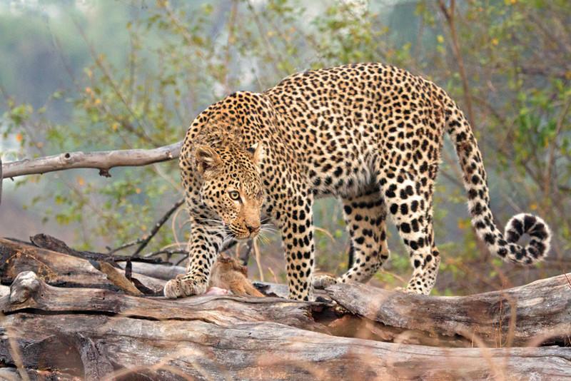 Annie Nash - Wild leopard on a kill 3
