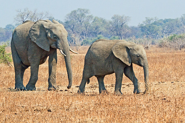 annie nash zambian elephants