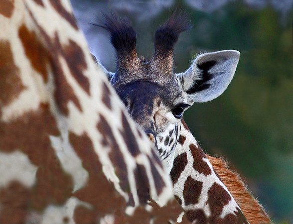 annie nash wild shy baby giraffe