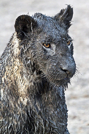 annie nash zambian muddy lion portrait