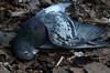 Good Pigeon