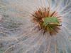 Bug on Dryass