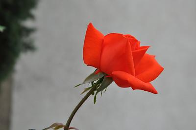 Ken Kinsley Red Rose