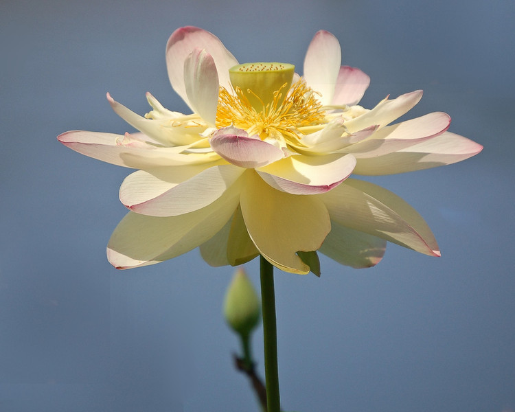 Open-Class A-Jill Margeson-Lovely Lotus
