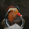 Open-Class A-Diane McCall-Portrait of a Mandarin Duck