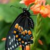 Open-Class A-Chris Christiansen-Black Swallowtail