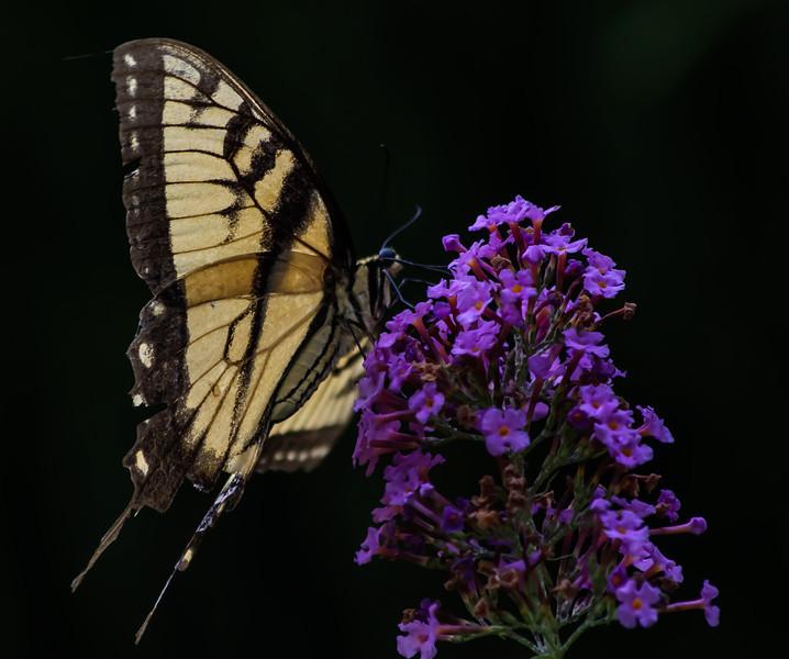Open-Class B-Wendell Dance-Butterfly
