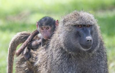 annie nash  wild rwandas  baboons