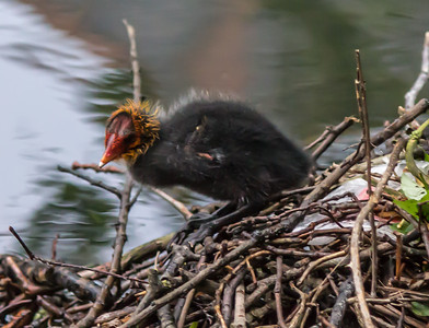 Gerry_Baby Coot-0202