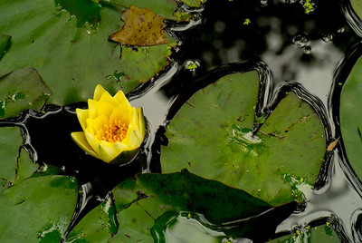 June - The old Lily pad