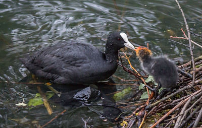 Coot family