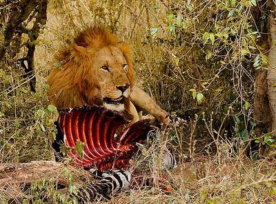 Lion guarding his kill