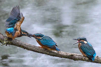 Two Kingfisher fledglings