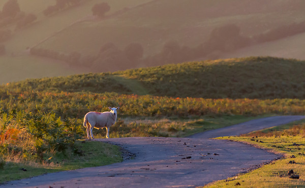 Sheep on the Road at Sunset