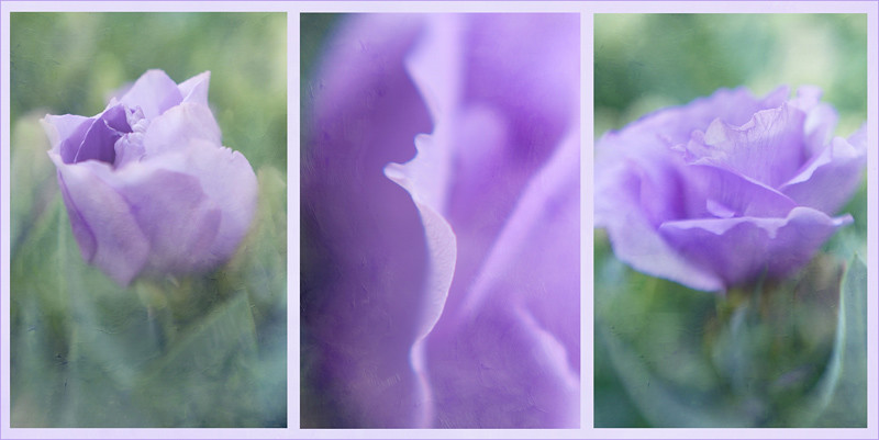 Lisianthus triptych