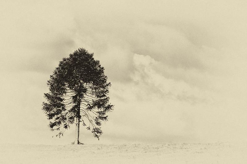 Lone tree at Mt Annan