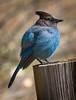 Mountain Blue Jay