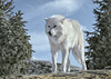 WOLF of the NORTH
