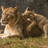 AIZ-Class A-2nd-John German-NC Zoo-Mekita and Cub