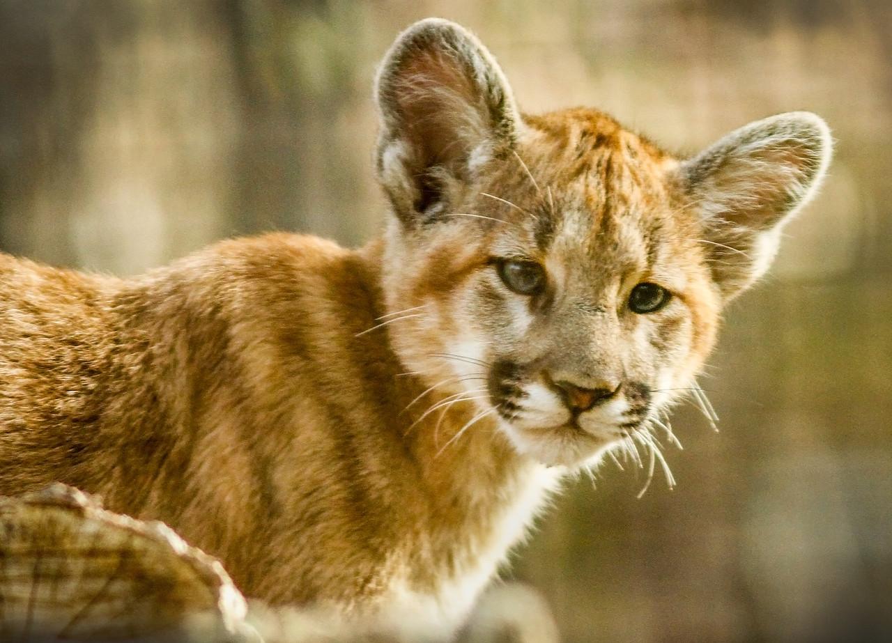 AIZ-Class A-JIm Davis-NC Zoo-Cougar Cub