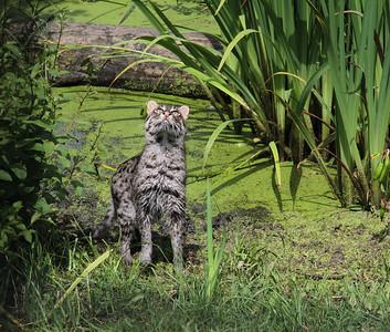 Mike H Asian Fishing Cat