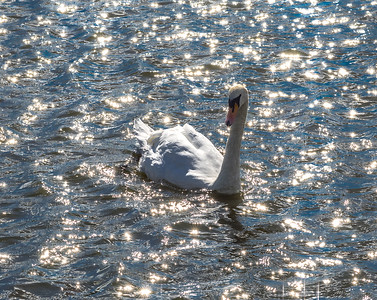 Clive Wade- Swan  on Hampstead Lake