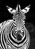 NOPN-A-Donna Ford-Zebra
