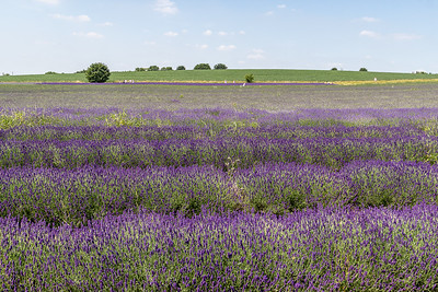 Christine_Lavender Fields-5658