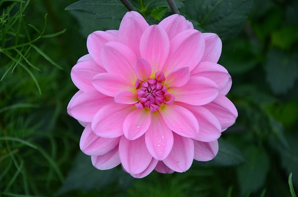 Ken Kinsley Dahlia in Bloom_edited-1