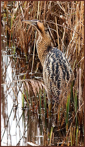Clive Wade Bittern in the Lee Valley