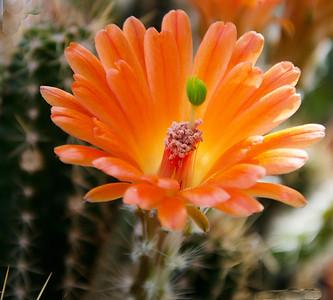 Ken Kinsley Flowering Cacti