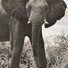 TWL-HM-Class B-Pat Anderson-Elephants in the Wild