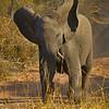 TWL-Class A-Gary Magee-African Savannah Elephant