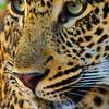 TWL-Class A-Gary Magee-Leopard Stalking Prey