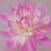 Crysanthemum bloom
