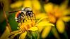 4-Advanced-Open-DNP-Jason_Hutchison-Busy_Bee