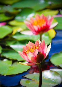 3-Intermediate-Open-4-Gretchen_Faulk-Water_Lilies