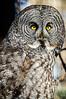 4-Advanced-Open-DNP-Sam_Scholes-Great_Gray_Owl