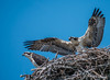 Osprey Siblings