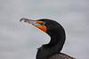 Cormorant in Belize