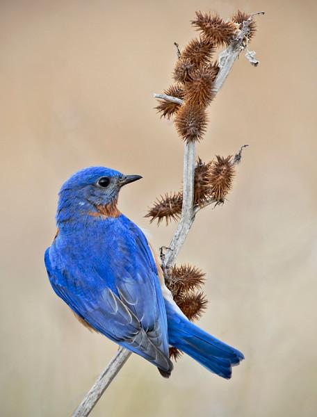 Male Bluebird on burs