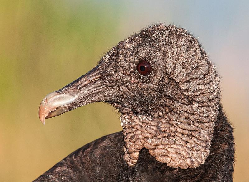 Black Vulture #3