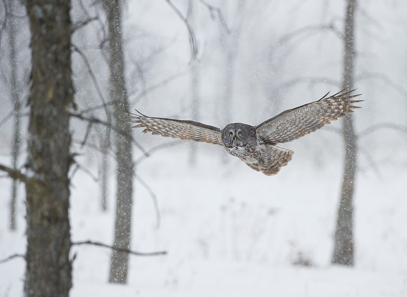 Great Grey Owl in Storm