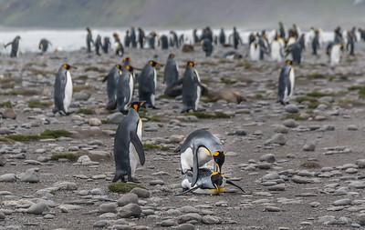 Penguins Mating
