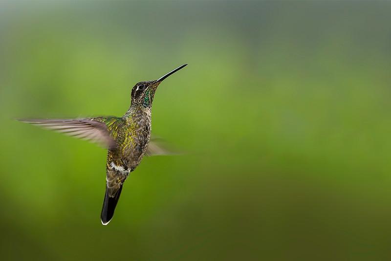Magnificent Hummingbird (Eugenes fulgens - female)