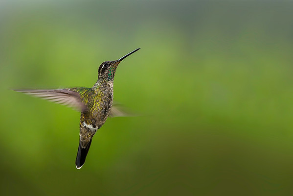 Magnificent Hummingbird (Eugenes fulgens - female)