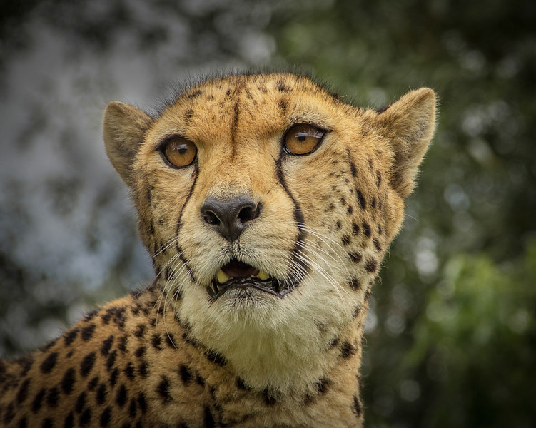Cheetah on the altert