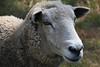 FRM-A-Marti Derleth-Sweet Lambie