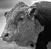 FRM-A-Diane McCall-That's a Lotta Bull