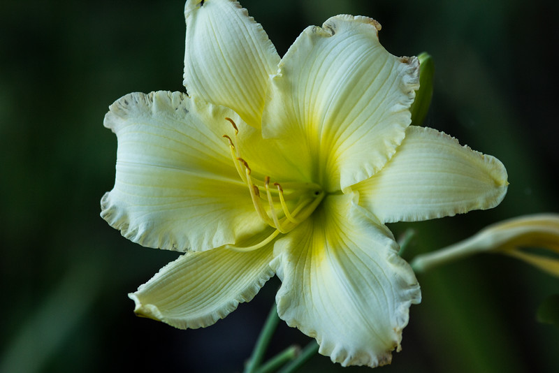 Flowers-A-John German-Day Lilly